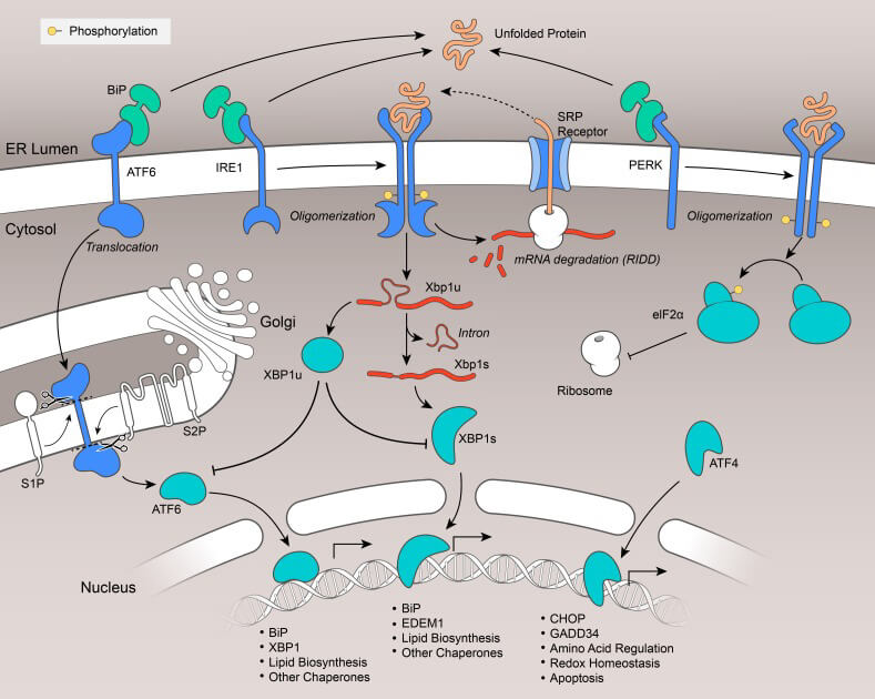 Unfolded Protein Response (UPR)